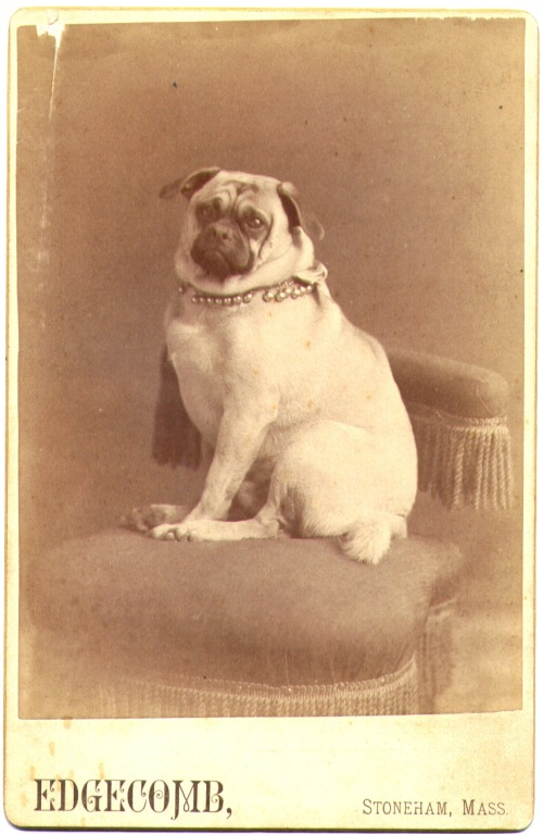 Portrait of an unidentified gentleman pug.  Cabinet card, ca. 1890. Edgecomb photography studio, Stoneham, Massachusetts.