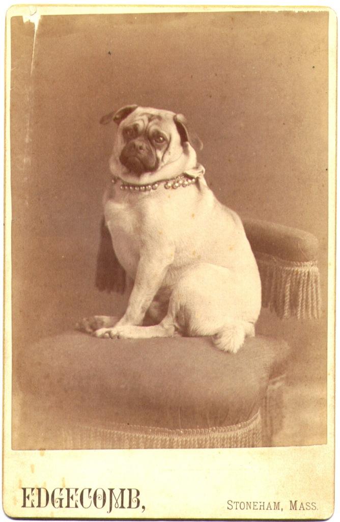Portrait of an unidentified gentleman pug.  Cabinet card, ca. 1890. Edgecomb photography studio, Stoneham, Massachusetts.