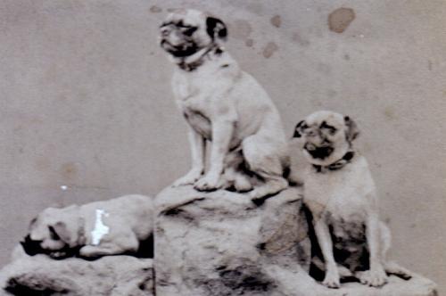 three-pugs-2.jpeg